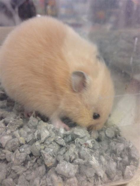 hamsters images  pinterest hamster toys