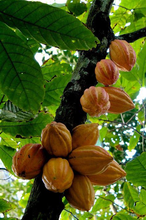 mari mengenal buah coklat koko myrokan