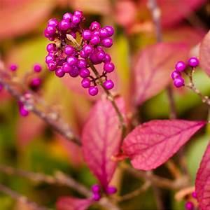 Plantes Et Jardin : callicarpa 39 profusion 39 plantes et jardins ~ Melissatoandfro.com Idées de Décoration