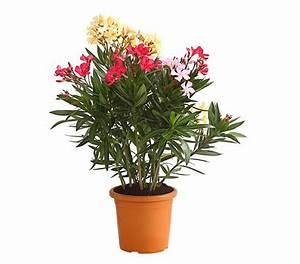 Pflege Von Oleander : oleander busch 39 trio 39 dehner ~ Eleganceandgraceweddings.com Haus und Dekorationen