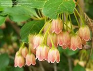 Best Bell Shaped Flowers Ideas And Images On Bing Find What You