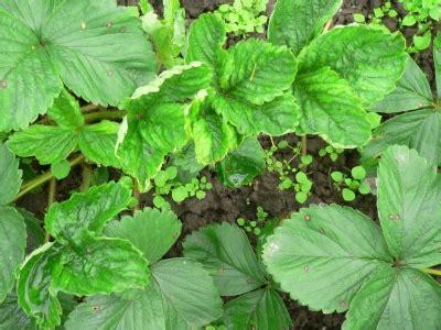 Zemenes dārzniekam iesācējam :))) [7] (Forumi): Cālis.lv ...