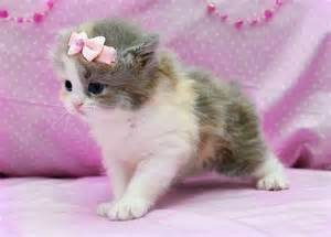 teacup cats 69 best images about omg teacup kitties on
