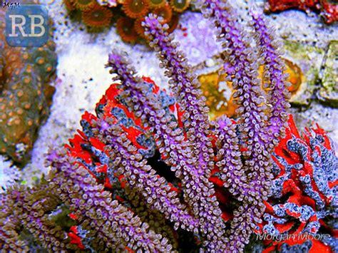 photosynthetic gorgonians   home aquaria reef