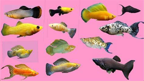 top  beautiful molly fish youtube