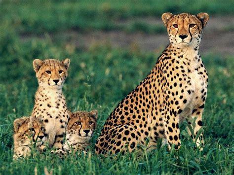 mewarnai gambar cheetah mewarnai gambar