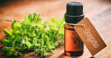 What Is Oregano Oil And What Are It's Uses And Benefits?