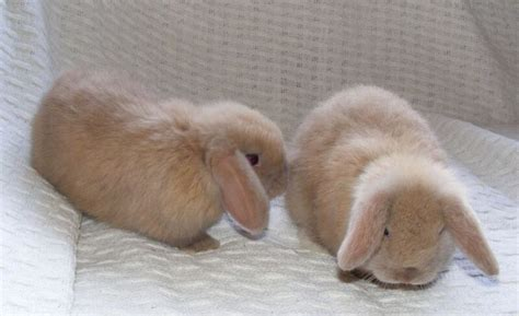 rabbit breeds  pets  children pets rabbit