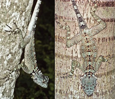 Species New to Science: [Herpetology • 2013] Treerunners, Cryptic Lizards of the Plica plica ...