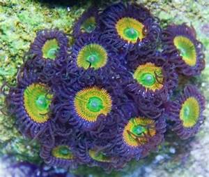 Zoanthids Rare Zoanthids Zoa Frags