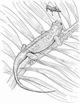 Lizard Coloring Animals Grasshopper Bug sketch template