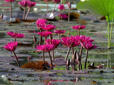 water lilies national geographic society