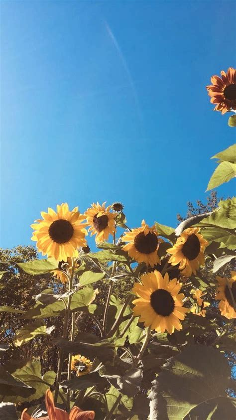 cute aesthetic sunflower wallpapers wallpaper cave