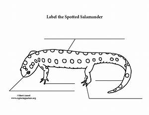 Salamander  Spotted  Labeling Page