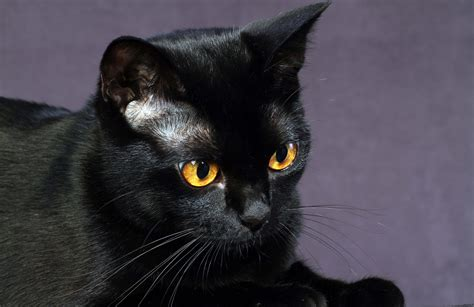 Orange Eye Wallpaper by 15 Enchanting Wallpapers Of Beautiful Black Cats