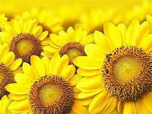 Yellow Sunflower Background   Wallpapers13 Com