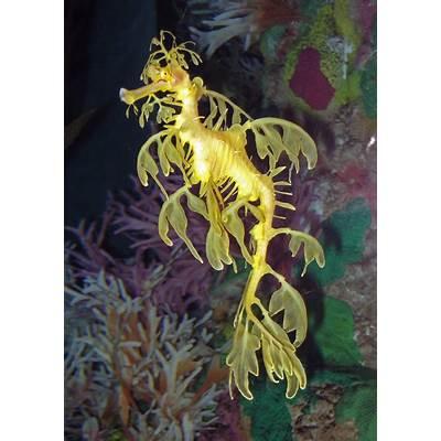 Phycodurus Eques Leafy Sea Dragon World Orlando