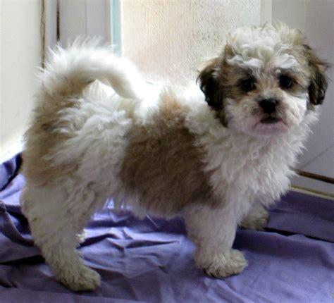 Shih Tzu X Bichon Frise Puppies Ready Now Tonbridge