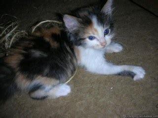 calico kittens  adoption  beautiful kitten litle pups