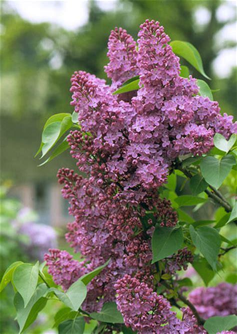 small lilac bush varieties lilac
