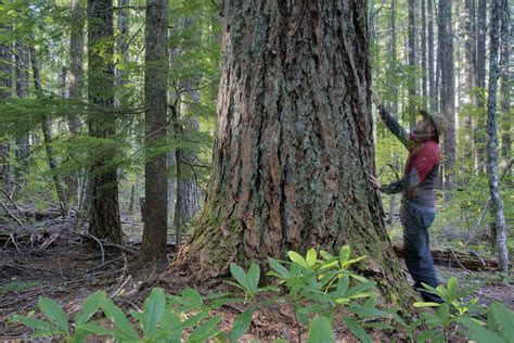 douglas fir trees for sale seeking balance in oregon 39 s timber country a forest