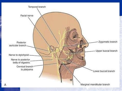 Nasal Floor by Anatomy Of The Cranial Nerves