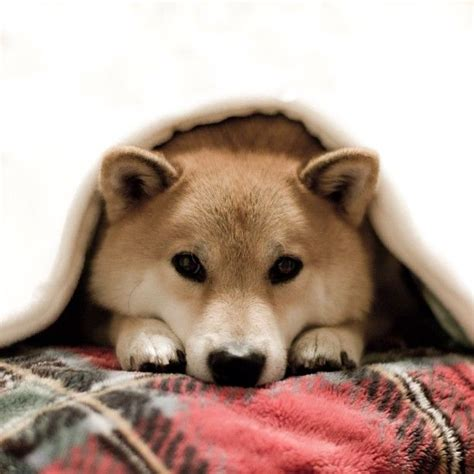 Do Shibas Shed A Lot by 1000 Images About Shiba Inu S On Akita
