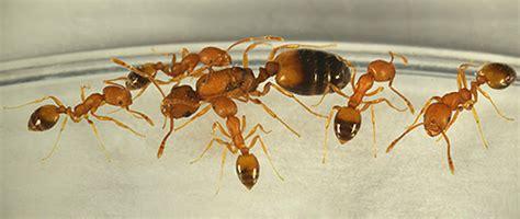 Ameisen Im Haus Woher. Ameisen Im Wohnzimmer. Ameisen Im