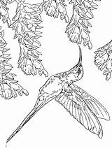 Hummingbird Coloring Pages Hummingbirds Ruby Throated Birds Flowers Drawing Coloring4free Printable Rufous Getdrawings Getcolorings Colors Template Recommended sketch template