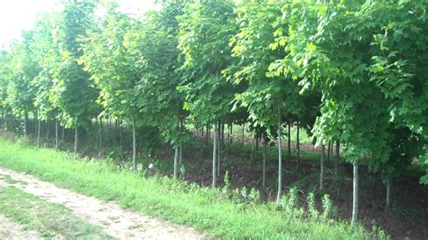fast growing landscaping with fast growing trees buy fast growing trees at tn tree nursery online youtube