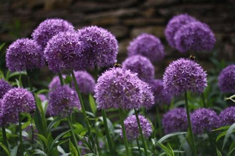 how to plant and early summer flowering bulbs