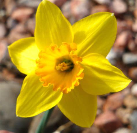 daffodils open  uplift earth gifts healers