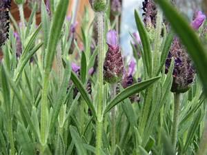 Schopf Lavendel Tee : schopflavendel lavandula stoechas ~ Michelbontemps.com Haus und Dekorationen