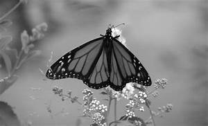 black &, white, black and white, butterfly, photography ...