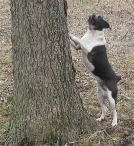 Mountain Cur Squirrel Dogs Sale