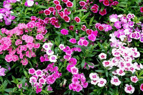 Sommerblumen Mehrjährig Winterhart by Gartennelken 187 Mehrj 228 Hrig Ziehen