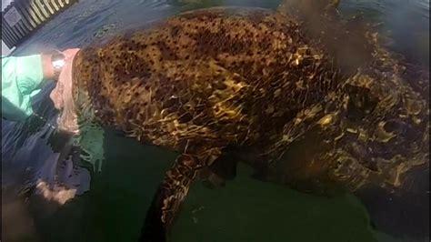 weight grouper goliath 89k g10