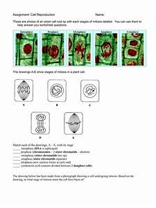 Plant Cell Mitosis Diagram Stages