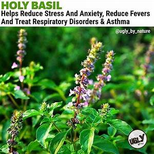 The Miraculous Healing Properties Of Holy Basil Come Mainly From Itsessential Oilsand The