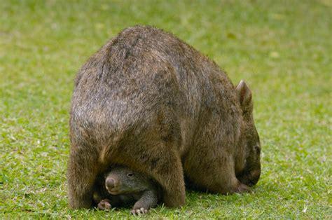 wombats  sie bestimmt noch nicht wussten newsat