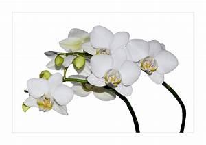 Schöne Orchideen Bilder : wei e orchidee foto bild pflanzen pilze flechten bl ten kleinpflanzen orchideen ~ Orissabook.com Haus und Dekorationen