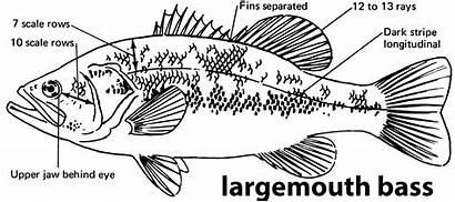 Bass Largemouth Fish Iowa Species Fishing Characteristics
