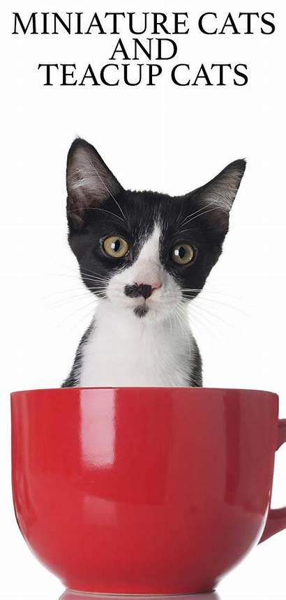 Teacup Cats Cat Miniature Ragdoll Kittens Thehappycatsite
