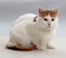 turkish cat turkish cat breed information pictures
