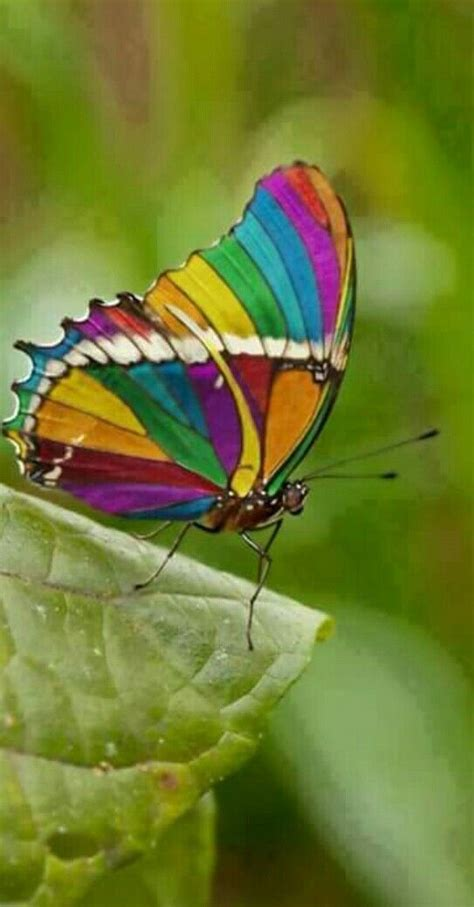 butterflies rainbow most butterfly caterpillar colours nature colors colorful hope flowers insects bugs rest pretty looks di species different rainbows