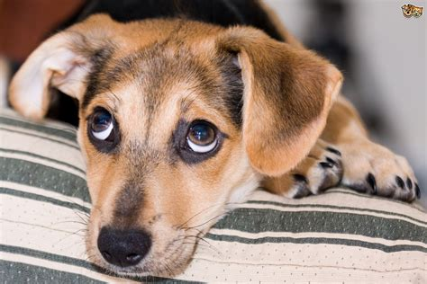 tips  dealing  puppy crying petshomes