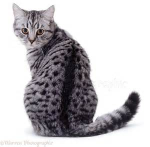 spotted cats silver spotted cat looking back photo wp03360