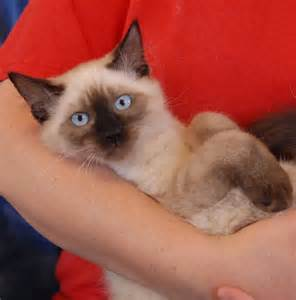 siamese cat adoption nevada spca animal rescue an adorable siamese