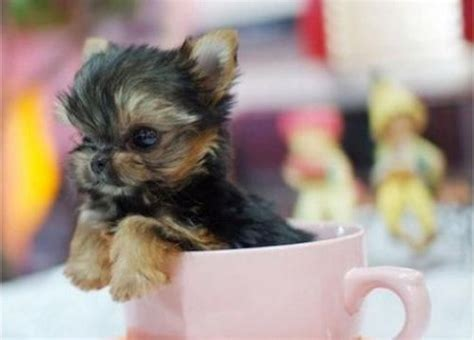 Smallest Dogs In The World – Revealed Here