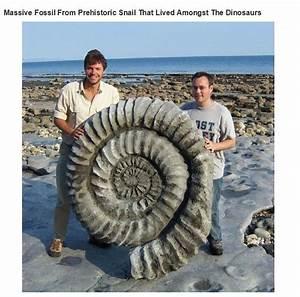 Bigass Ammonite Fossil is not a Bigass Ammonite Fossil ...